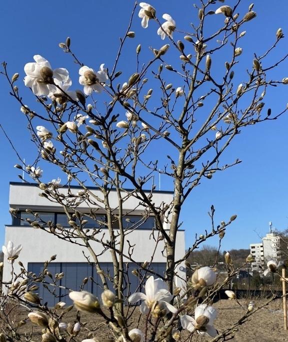 Magnolienblüte im Seminargarten des Tagungsortes ZEITRAUM im Bergischen Land